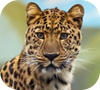 Game Jigsaw: Leopard