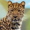 Игра Пазл: Леопард