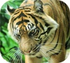 Game Tiger Jigsaw Puzzle