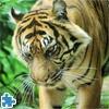 Игра Пазл: Тигр