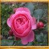 Игра Королевство цветов: Красные розы