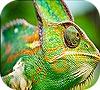 Игра Передвижной пазл: Зеленый хамелеон
