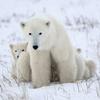 Игра Передвижной Пазл: Полярная медведица с медвежонком