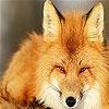 Игра Передвижной пазл: Дикая лисица
