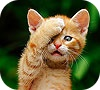 Game Cute shy cat slide puzzle