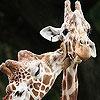 Игра Пятнашки: Жирафы