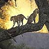 Игра Пятнашки: Дикие кошки