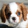 Игра Пары животных: Собаки