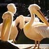 Игра Пазл: Пеликан