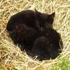 Игра Пазл: Спящие кошки