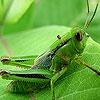 Игра Пятнашки: Зеленый кузнечик