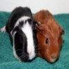 Игра Пазл: морские свинки
