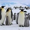 Игра Пятнашки: Императорские пингвины
