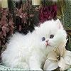 Игра Пятнашки: Белый котенок