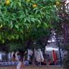 Игра Пазл: Апельсиновое дерево