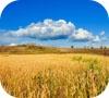 Игра Пазл: Золотое поле