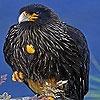 Игра Пазл: Суровые черные птицы