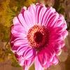 Игра Пазл: Розовый цветок