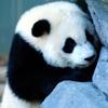 Игра Пазл: Панда