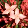 Игра Пазл: Красные цветы