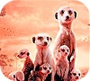 Game Little shy meerkat family slide puzzle