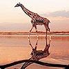 Игра Пазл: Жираф на пляже