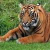 Игра Пазл: Портрет тигра